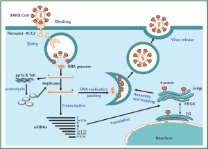 nidovirus replication